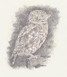 Little Owl 2012