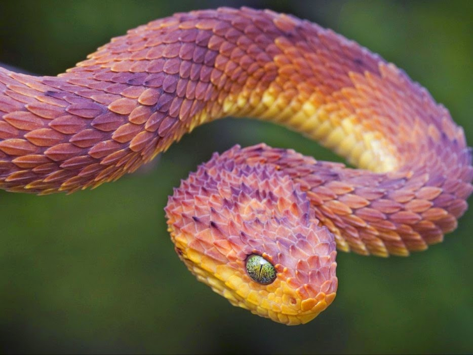 50 Powerful Photos Capture Extraordinary Moments In The Wild - The breathtaking african bush viper is well known for its beautifully colored scales.