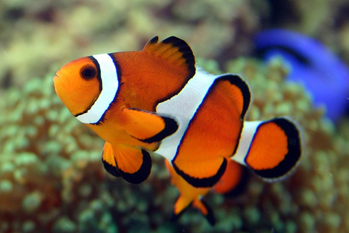 Susie of arabia finding nemo snorkeling in the red sea for Clown fish adaptations
