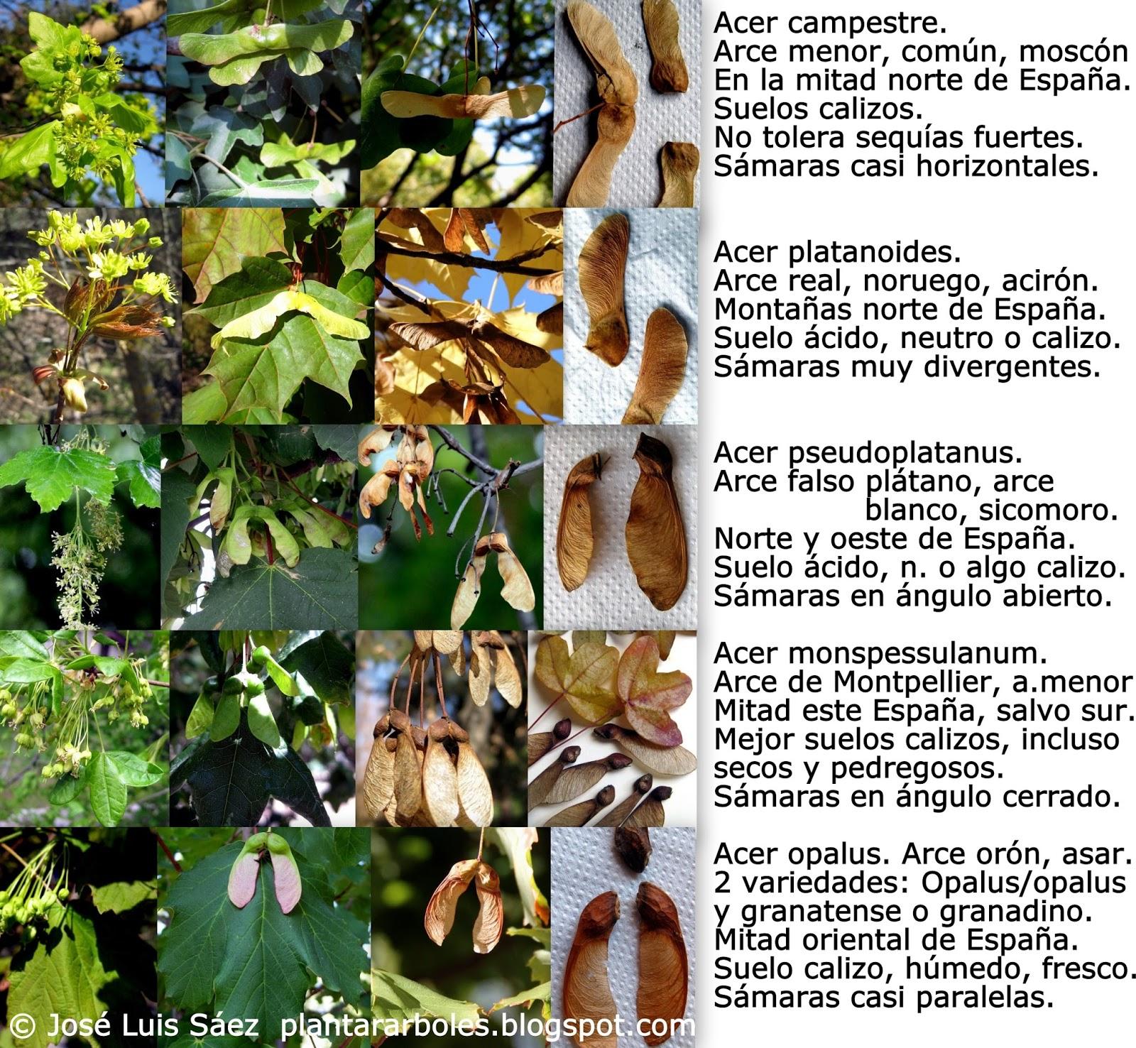 Plantar rboles y arbustos tipos de frutos y semillas - Arce arbol espana ...