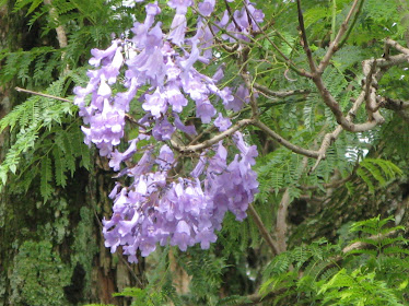 JACARANDA, THE ESSENCE OF AFRICA!