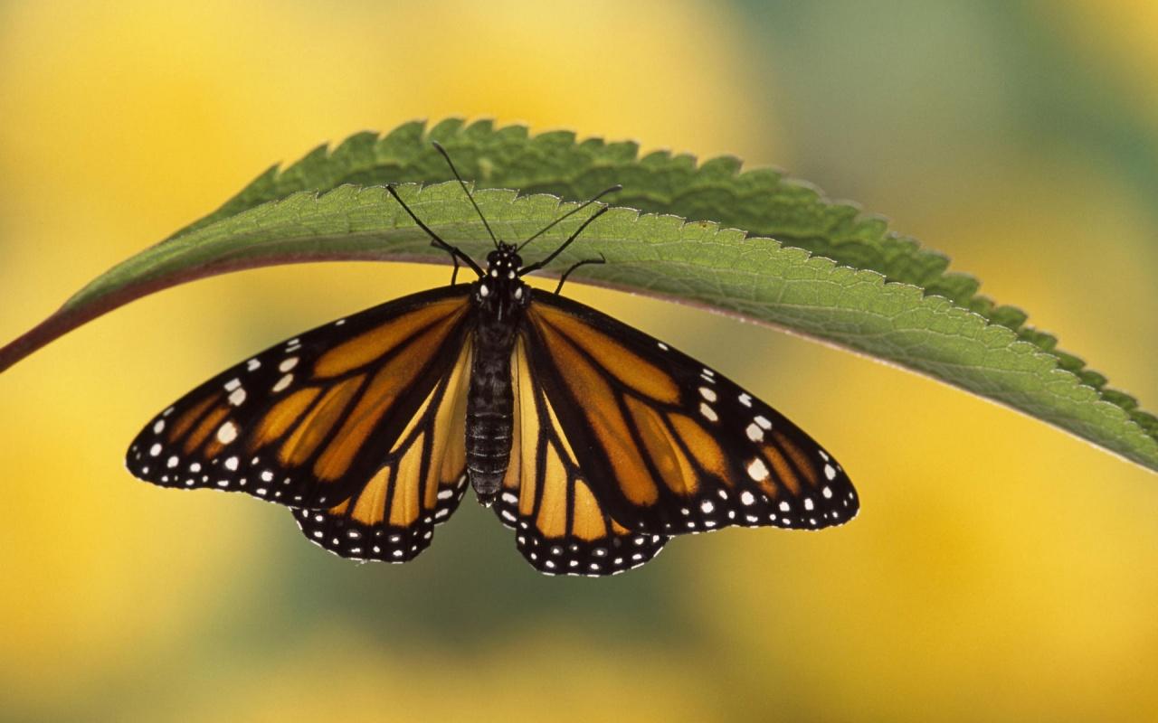 1280 x 800 butterfly wallpaper - photo #19