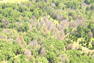 Larch and oak trees affected by disease