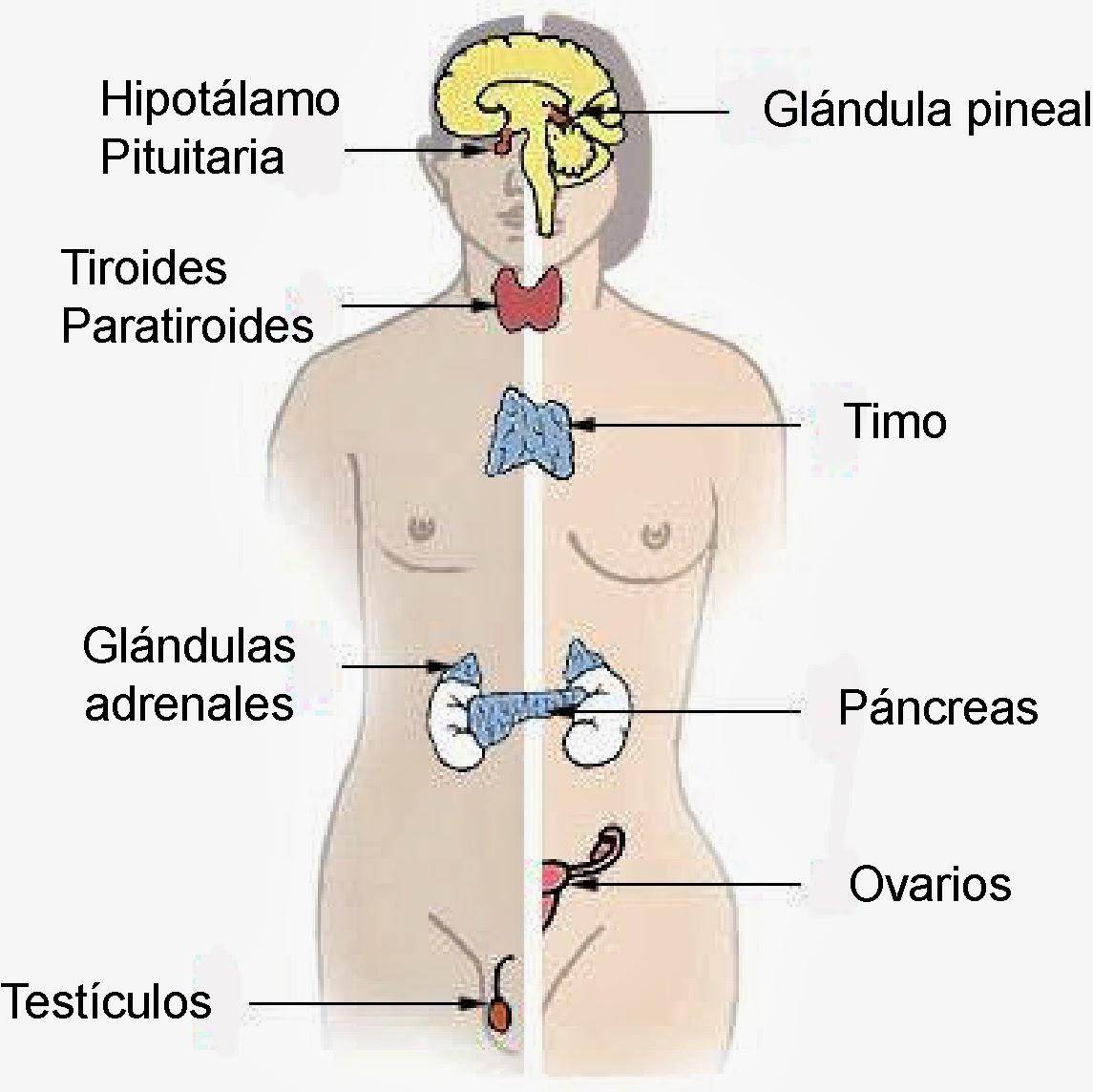 Glándulas endocrinas clásicas
