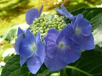 生き生きと咲いてる額アジサイの花