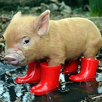 That hapa chick kawaii monday pocket pigs this weeks kawaii monday features pocket pigs okay so ive always dreamed of having a pet pig and then i stumbled across these words cannot describe the voltagebd Gallery