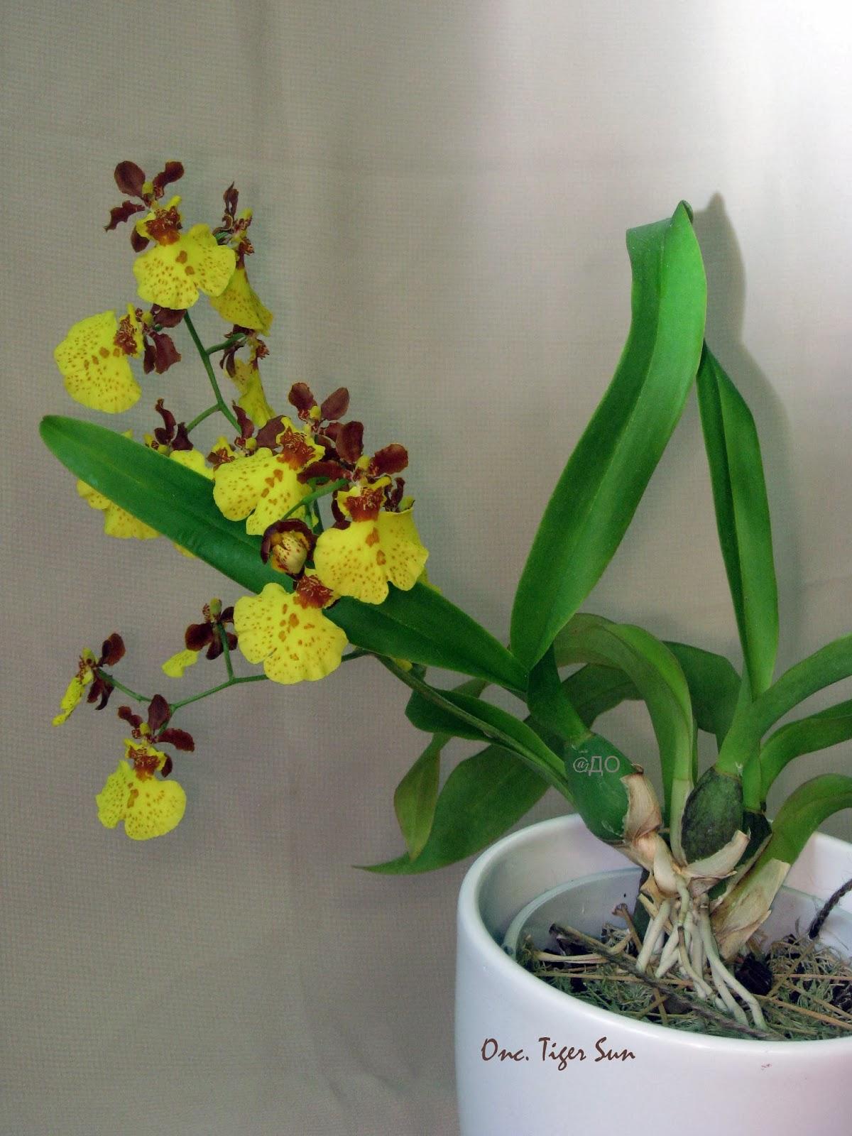 Oncidium Tiger Sun - Цветочная кисть