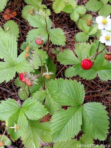 metsämansikat, wild strawberries, mansikat, strawberries