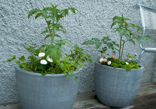 Två grå krukor med tomatplantor, bellis och persilja.