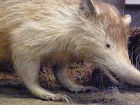 Wow! Tikus Langka Raksasa Berbisa ini Ditemukan di Kutai Timur