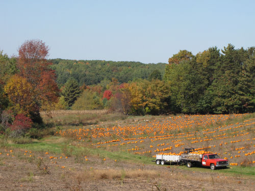 a field of pumpkins being harvested