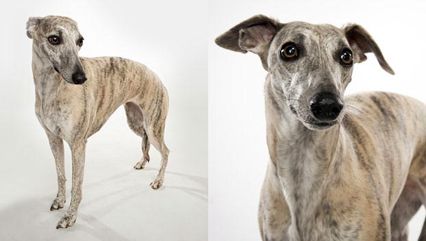 Dog Breeds Whippet Greyhound