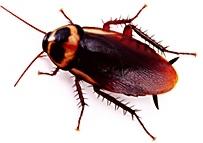 Imagen de una cucaracha común