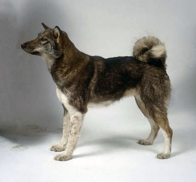 East Siberian Laika dogs - Pets Cute and Docile