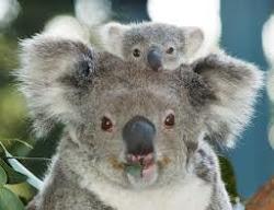 From Koala to Kuala