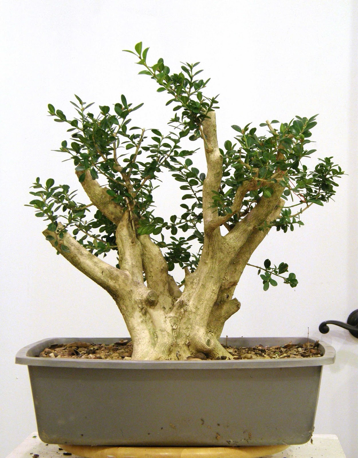 Heart of texas bonsai japanese boxwood too tall