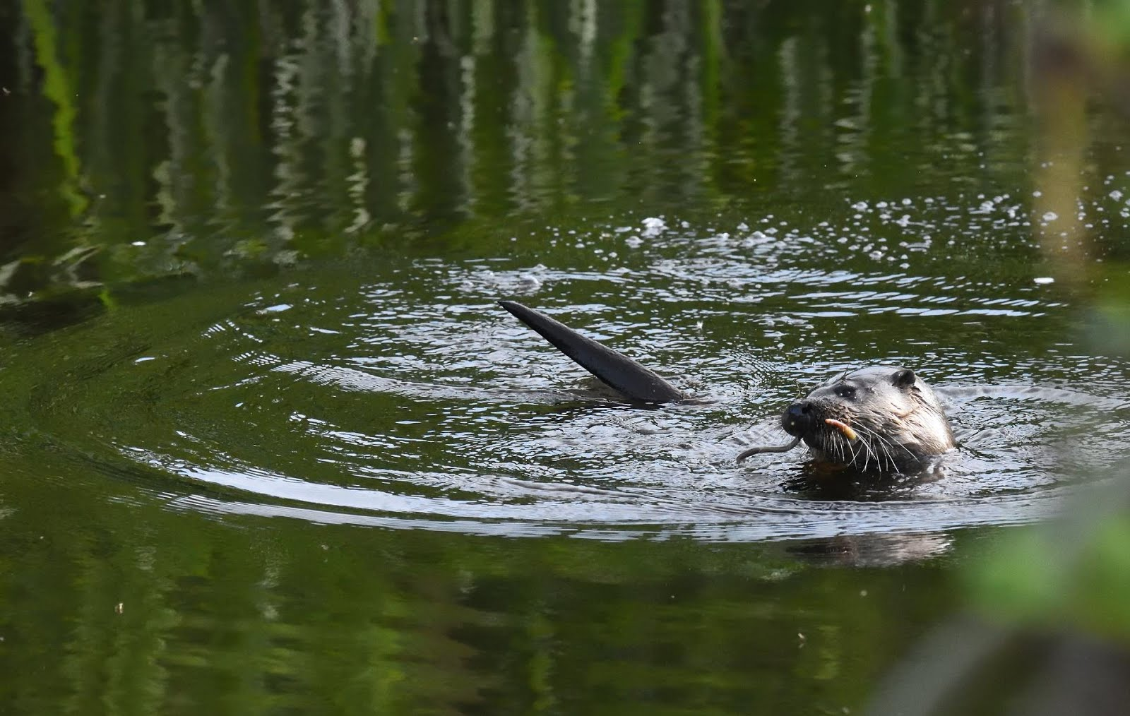 Otter with lamprey on the Coquet
