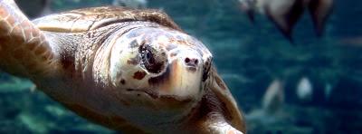 Loggerhead Sea Turtle at Georgia Aquarium