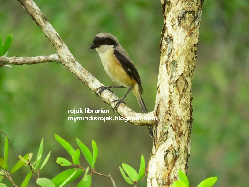 Long tailed Shrike in Tampines Eco Green