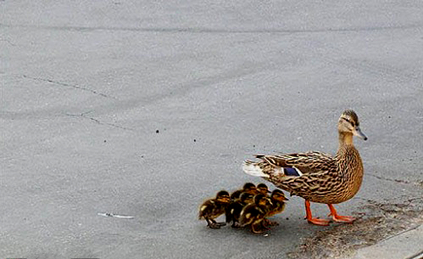Ducklings Rescued From Sewer