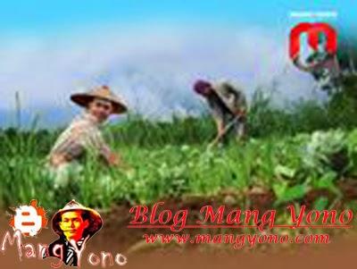 Perbedaan pemberian pupuk pada tanaman di kampung dan di kota