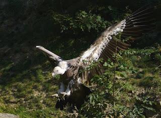 tubuh turis tinggal tulang di makan burung nasar