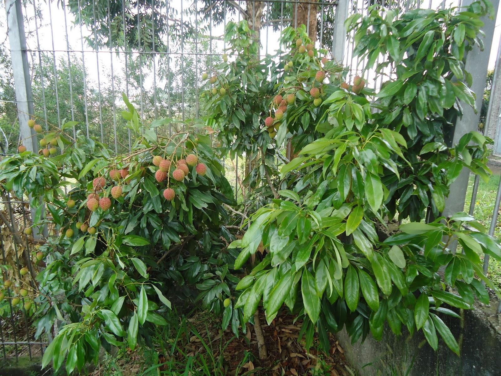 plantas jardim nordeste: : Árvores do pomar de nossa residência [Jardim Nordeste, S.Paulo