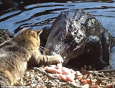 cat alligator fight eat