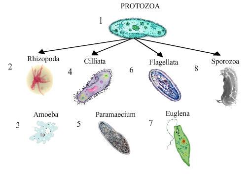 Simply Microbiology Bacteria Fungi Protozoa Viruses