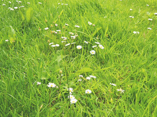 bright green grass with daisies