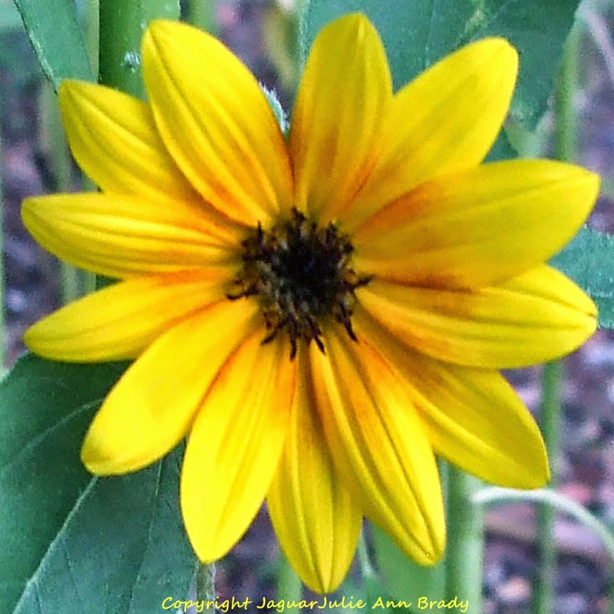Pretty Yellow-Orange Sunflower Blossom