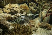 Conger Eels