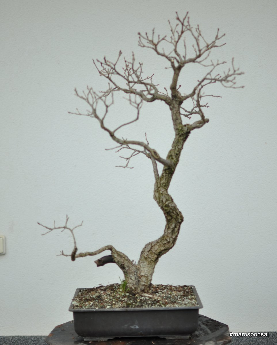 Maros Bonsai Blog Quercus Pubescens No4