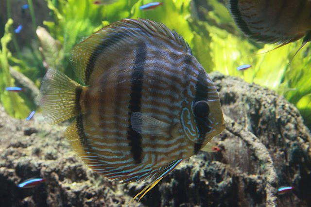 Pictures of heckel discus fish exotic tropical for Common freshwater aquarium fish