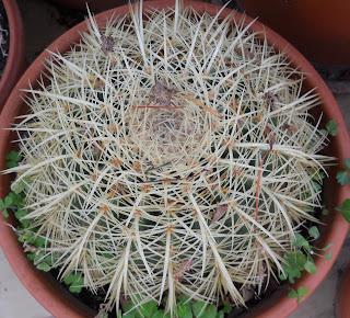 cactus Echinocactus grusonii