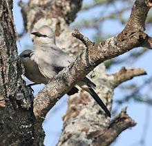 Stresemann's Bush Crow, Ethiopia