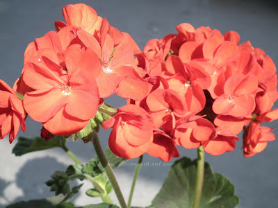 "Pelargonium x hortorum ""Moulin Rouge"" flowers"