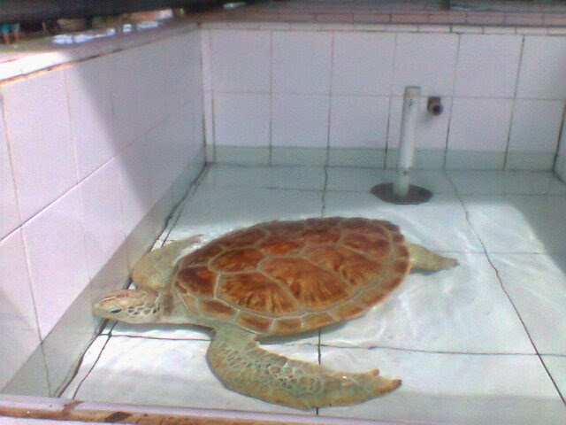 Turtle breeding to prevent the extinction of the population in pariaman hometown admin