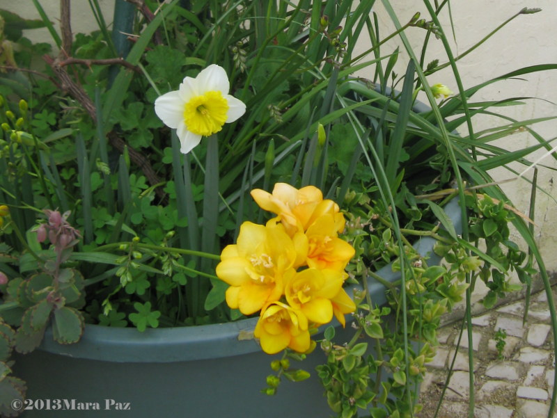 Narcissus and freesia