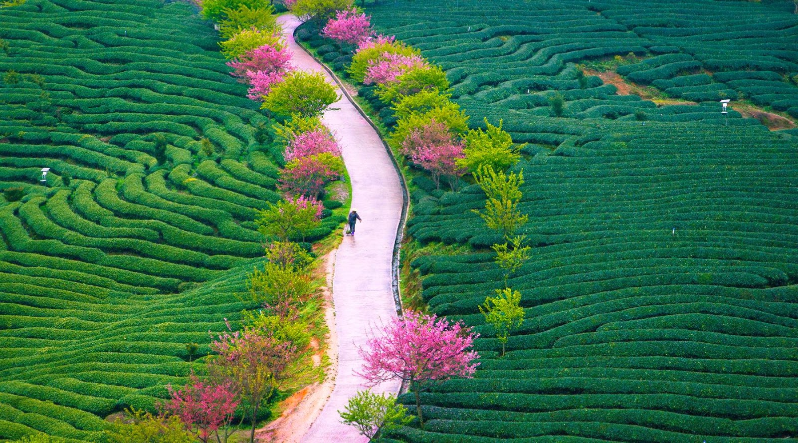 Tea Farm Spring by Zhangning