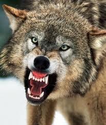 wolf+growl.jpg