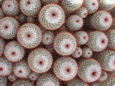 Image of round cacti viewed from above
