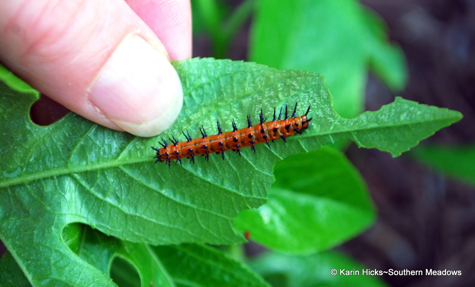 Finding Caterpillars: Southern Meadows