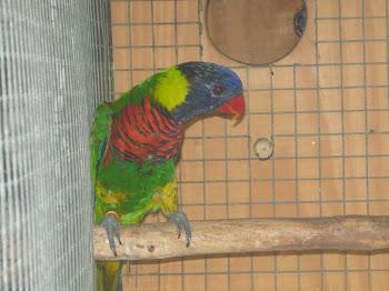 Lóris arco-íris
