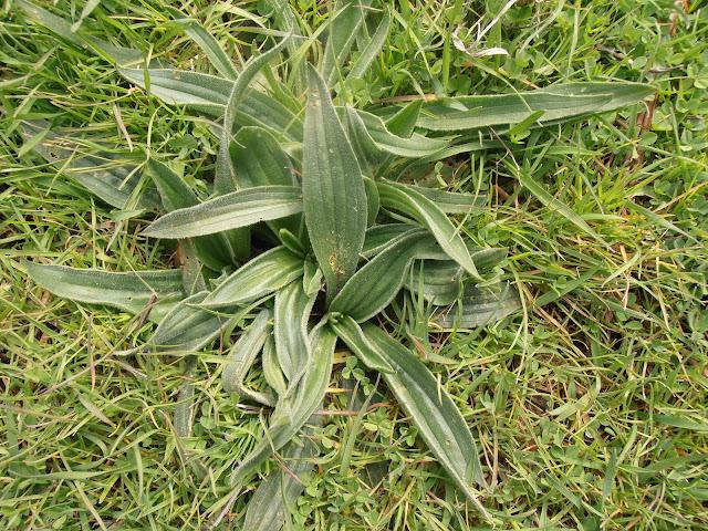 LLANTÉN: Plantago lanceolata