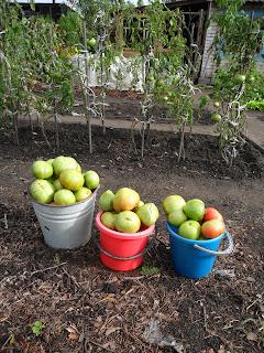 31 августа, собрано 2 ведра помидоров