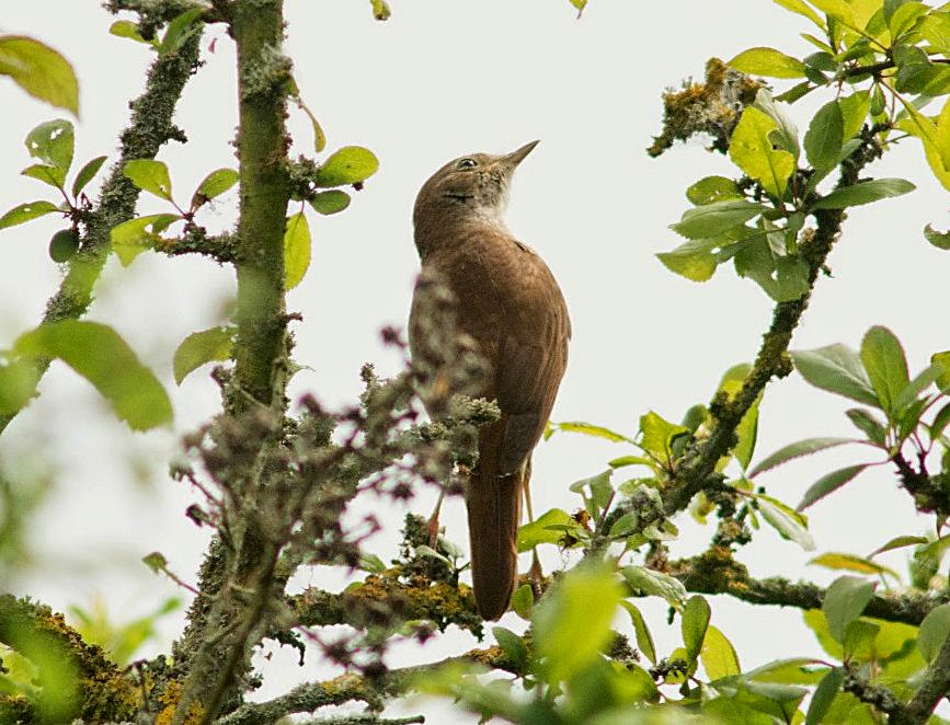 Nightingale Nightingale Was Singing Quite Strongly at This Time And Was Moving About
