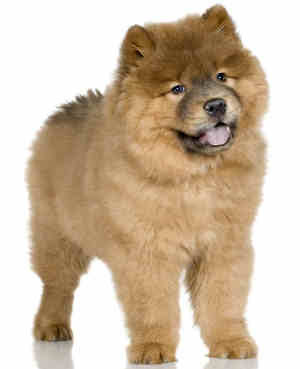 Chow Chow Puppies on Chow Chow Puppy Pictures   Puppy Pictures And Information