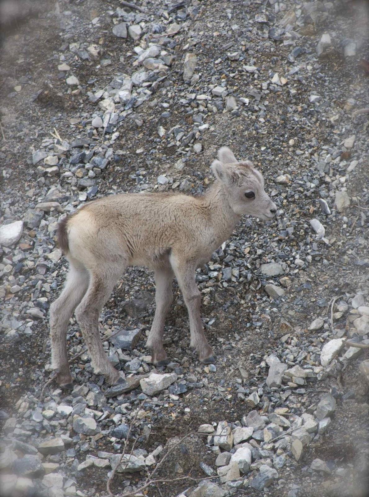 LIFE AS A BONTRAGER: Alaska//Animals Animals