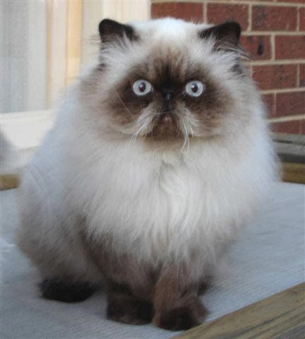 Jenis Jenis Kucing Persia Hewan Ternak